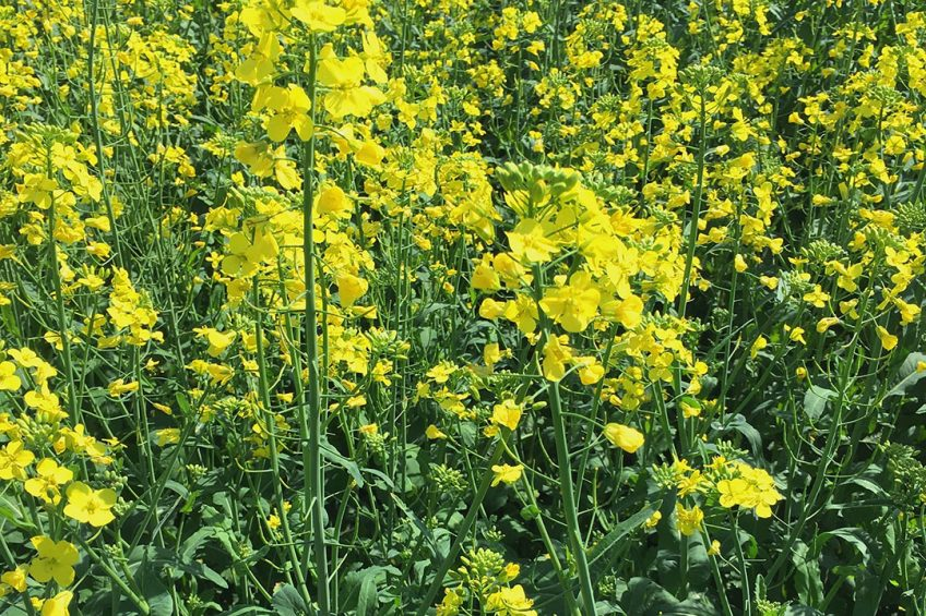 Canola is a major commercial oilseed crop associated with high quality oil. A field trial, by canola breeding program at Kansas State University, investigating the effect of heat stress responses on yield and oil qualities to enhance resilience to heat exposure under future warming scenarios.