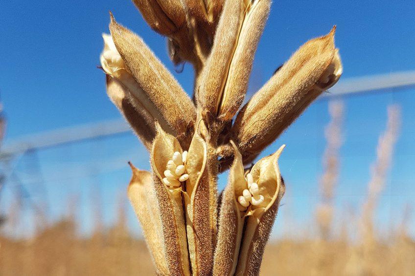 BASF Venture Capital ist der Leadinvestor in einer Förderrunde des israelischen AgTech-Startups Equinom. Die computergestützte Zuchttechnologie von Equinom ermöglicht die Entwicklung optimierten Saatguts für die Lebensmittelindustrie und trägt so dazu bei, die wachsende Nachfrage nach pflanzlichen Produkten abzudecken, die als Inhaltsstoffe, als Güter mit Clean-Label-Auszeichnung und für eine gesündere Ernährung verwendet werden. Equinoms Sesamsaatgut mit hohem Ölgehalt ist speziell auf flexible Anbaubedingungen ausgelegt. Mit seinem Kernprodukt bietet das Startup eine robuste Sesamsorte, die sich für eine mechanische Ernte eignet und überall auf der Welt angebaut werden kann.  Copyright: Equinom