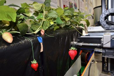 2013-11-06 13:06:01 Japan's Utsunomiya University displays a strawberry harvesting robot to pick a ripe strawberry and store it in a box for a demonstration at the annual International Robot Exhibition in Tokyo on November 6, 2013. The robot can gather a piece of fruit and sort by size automatically.   AFP PHOTO / Yoshikazu TSUNO