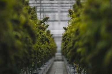 2019-04-24 13:01:32 Cannabis plants are pictured in a greenhouse of the new European production site of Tilray medical cannabis producer, in Cantanhede, on April 24, 2018.  The Canadian company Tilray, which aims to become one of the world's leaders in the therapeutic cannabis industry, inaugurated its European production site today in the central Portuguese town of Cantanhede. PATRICIA DE MELO MOREIRA / AFP