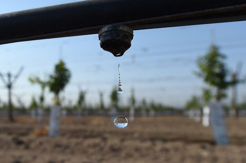 2016-08-25 01:50:55 Grape vinyeards are watered by drip irrigation near Porterville California, August 24, 2016.    Agricultural fertilizers as well as cow manure from dairy farms have led to domestic wells in California's Central Valley having dangerously high levels of nitrates making it unsafe to drink. In California s top farming regions, up to 250,000 consumers are highly susceptible to encountering nitrate contamination in their drinking water, according a report released earlier this month by the Agricultural Sustainability Institute at the University of California at Davis. Robyn BECK / AFP