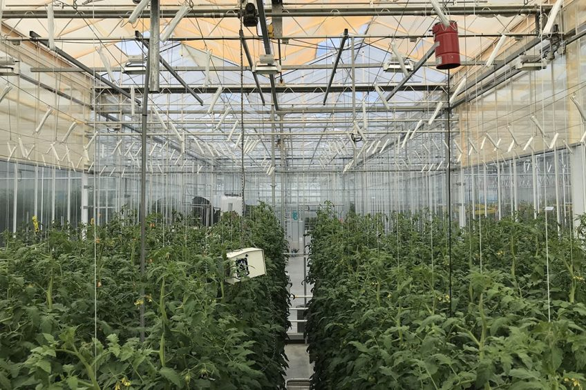 """UbiQD s quantum dot-enabled retrofit greenhouse film, UbiGro""""!, deployed above rows of tomatoes in a research greenhouse in the Netherlands. Credit: UbiQD, Inc."""
