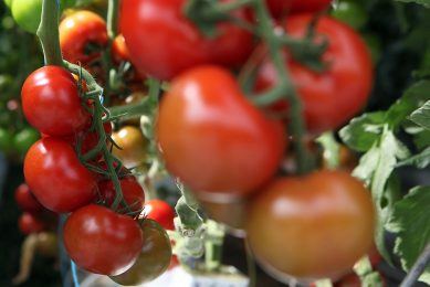 NEC and Kagome partner in AI to improve tomato yields