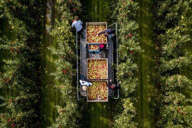 KERK AVEZAATH - Een dronefoto van de boomgaard met elstar appelbomen van fruitteler Bert den Haan. Ruim 35 fruittelers openen hun deuren tijdens de Landelijke Fruitplukdagen, waar bezoekers zelf fruit mogen plukken. ANP SEM VAN DER WAL