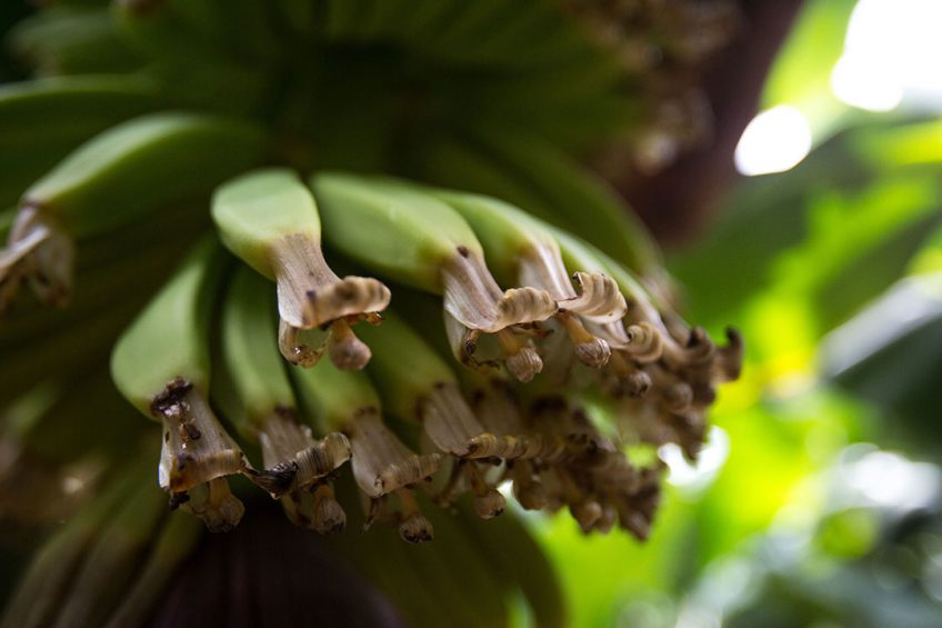 2017-09-12 19:01:45 Bananas trees are pictured at a plantation in Los LLanos de Aridane, on the Spanish Canary Island of La Palma, on September 12, 2017.   DESIREE MARTIN / AFP
