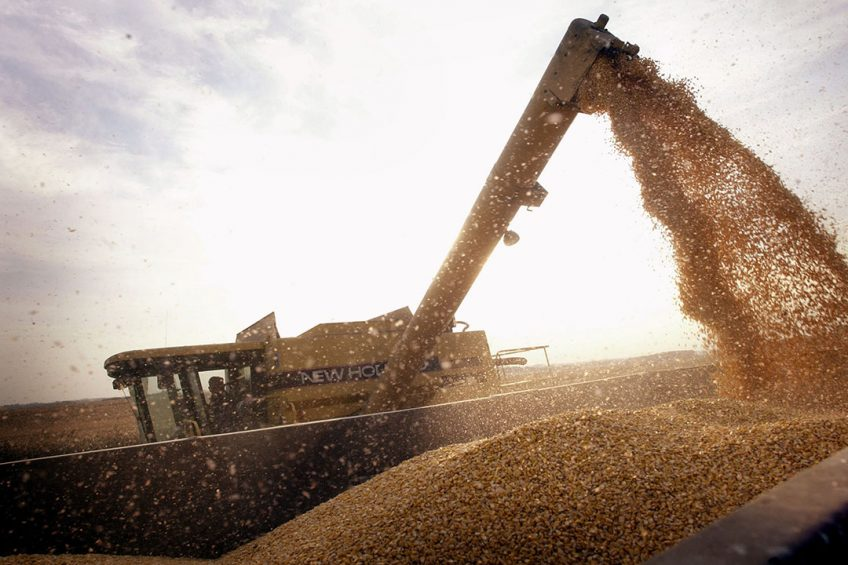 2003-10-09 00:00:00 John Shedd, 85, loads a container with Bt-corn harvested from his son's farm 09 October, 2003 near Rockton, Illinois. Shedd and his son farm 800 acres of the corn on farms in Illinois and Wisconsin. Bt-corn is a GMO (genetically modified organism) crop that offers growers an alternative to spraying an insecticide for control of European and southwestern corn borer. The Shedds sell the corn for use in ethanol.  (Photo by Scott Olson/Getty Images/AFP)   FOR NEWSPAPERS AND TV USE ONLY