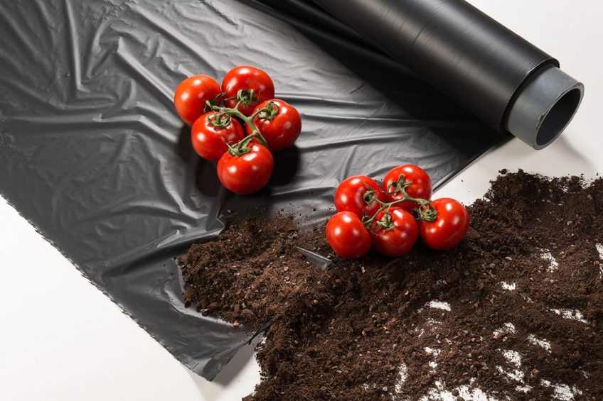 With ecovio® M 2351, BASF offers a certified soil-biodegradable plastic for mulch films consisting of the biodegradable co-polyester polybutylene adipate terephthalate (PBAT) ecoflex® and other biodegradable polymers made from renewable raw materials. Mulch films made of ecovio® M 2351 can be ploughed into the soil after mechanical harvest as naturally occurring micro-organisms in the soil recognize the structure of the film as food they can metabolize. When growing tomatoes, mulch films made of ecovio® can lead to an increased yield from 15 to 50 percent, less water consumption and a better weed control with less herbicides compared to bare-soil farming.