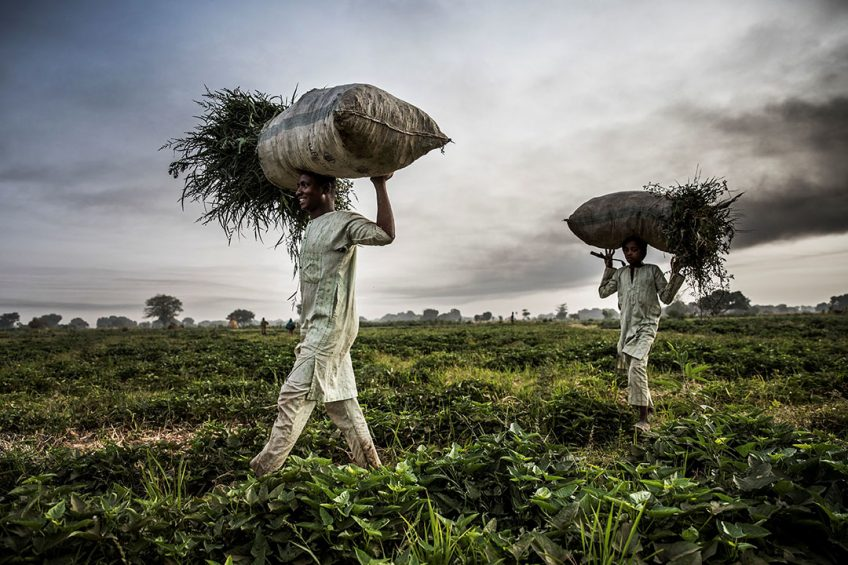 2019-04-22 09:49:30 A Hausa Fulani farmer and his son work at a farm in the outskirts of Sokoto, Sokoto State, Nigeria on April 22, 2019.  Massive expansion of farming in Nigeria has cut access to grazing land for nomadic herders and fuelled persistent violence. Luis TATO / AFP