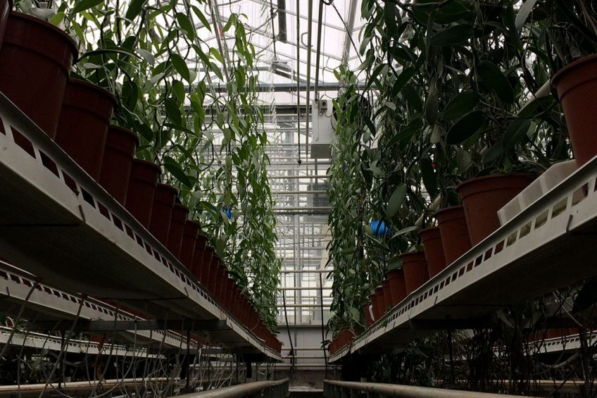 2016-10-12 11:09:01 A picture shows vanilla orchids at the greenhouse of the University of Wageningen in Bleiswijk on October 12, 2016. Flowers more exotic than the humble tulip will soon flourish for the first time in Dutch greenhouses after intensive research into growing the capricious vanilla orchid to harvest one of the world's most expensive spices. Maude BRULARD / AFP