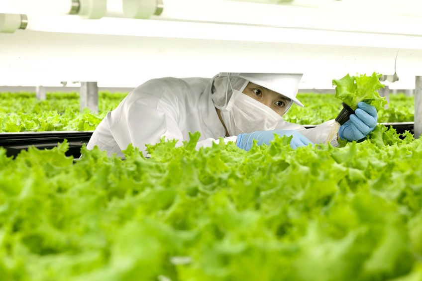 """2012-06-14 15:28:09 This June 14, 2012 hand out picture shows a worker checking lettuces at the indoor farm of Spread company in its Kameoka factory in Kameoka city, Kyoto prefecture.  A Japanese firm said on February 1, 2016 it would open the world's first fully automated farm with robots handling almost every step of the process, from watering seedlings to harvesting crops. Kyoto-based Spread said the indoor grow house will start operating by the middle of 2017 and produce 30,000 heads of lettuce a day.   AFP PHOTO / HO / SPREAD RESTRICTED TO EDITORIAL USE - MANDATORY CREDIT """"AFP PHOTO / SPREAD"""" - NO MARKETING NO ADVERTISING CAMPAIGNS - DISTRIBUTED AS A SERVICE TO CLIENTS =  SPREAD / AFP"""