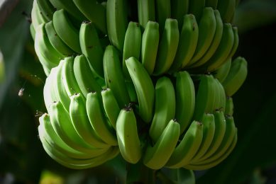 2017-09-12 18:04:02 Bananas trees are pictured at a plantation in Los LLanos de Aridane, on the Spanish Canary Island of La Palma, on September 12, 2017.   DESIREE MARTIN / AFP