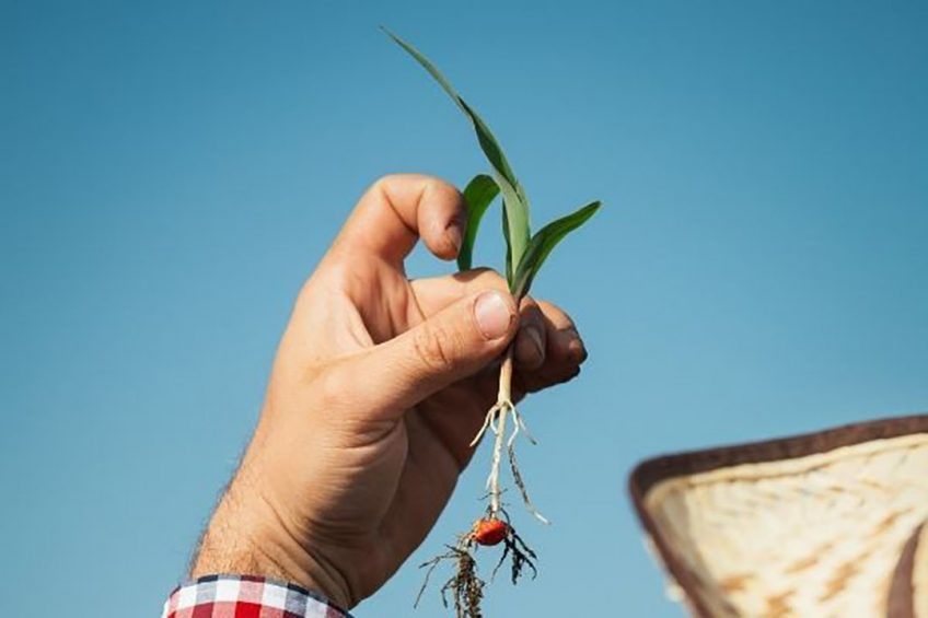 Syngenta introduces new fungicide seed treatment