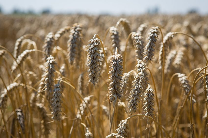 Early detection and elimination of mycotoxin-contaminated corn/wheat has proved inadequate when used alone but now new enzymatic solutions for targeting mycotoxins has started to emerge.