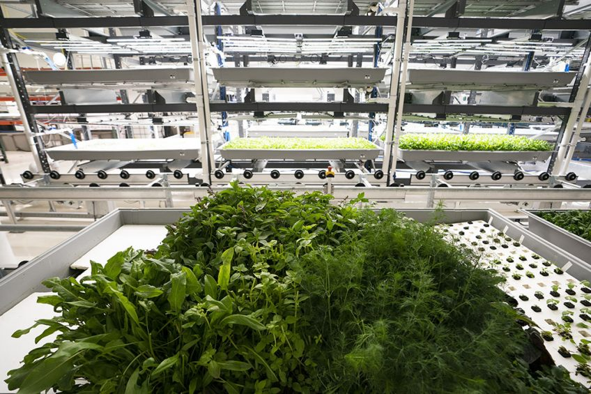 2019-01-28 16:26:59 Greens are grown at Bowery Farming on January 28, 2019 in Kearny, New Jersey.   Founded in 2015, the Kearny-based company, just a few miles from New York, has joined the burgeoning vertical farm business. Taking advantage of the enthusiasm of some investors, they rely on technologies to provide fresh produce a growing urban population. Don EMMERT / AFP