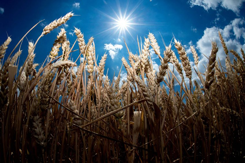 2018-07-06 00:00:00 A picture taken on July 6, 2018 shows the bright sun shining over a wheat field in Giesen, northern Germany. / AFP PHOTO / dpa / Hauke-Christian Dittrich / Germany OUT