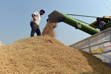 """2017-10-16 16:28:57 This photo taken on October 16, 2017 shows Indian farmer Kuldeep checking paddy grains extracted by a harvester machine in a field in Sonipat in the northern Indian state of Haryana.   As Hindus across India celebrate Diwali this week, scientists fear a ban on firecrackers and other emergency anti-pollution measures deployed by authorities may not be enough to prevent a repeat of last year's """"airpocalypse"""" in Delhi. On the city's outskirts however, farmers are busy burning crop residue to clear their land before the new harvest and the acrid smoke has already begun to drift south, casting a pall over the world's most polluted capital and leaving millions gasping for breath.  PRAKASH SINGH / AFP"""