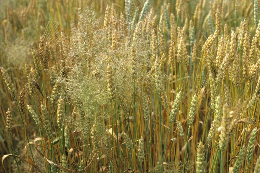 Sensors can identify herbicide resistant weeds in fields