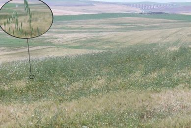 Predict wheat weed growth to reduce herbicide usage