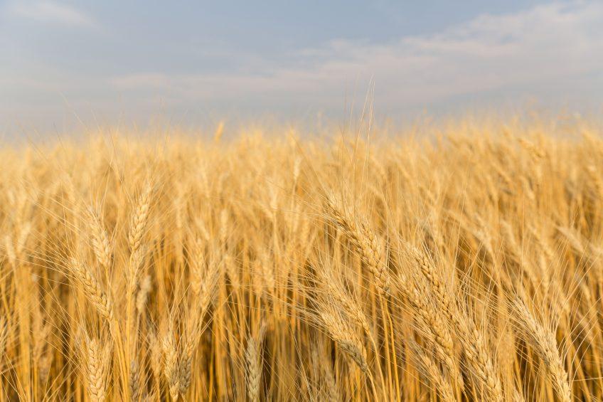 Farm-saved seed holds back NZ variety progress