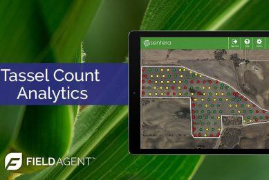 Tassel Count Analytics