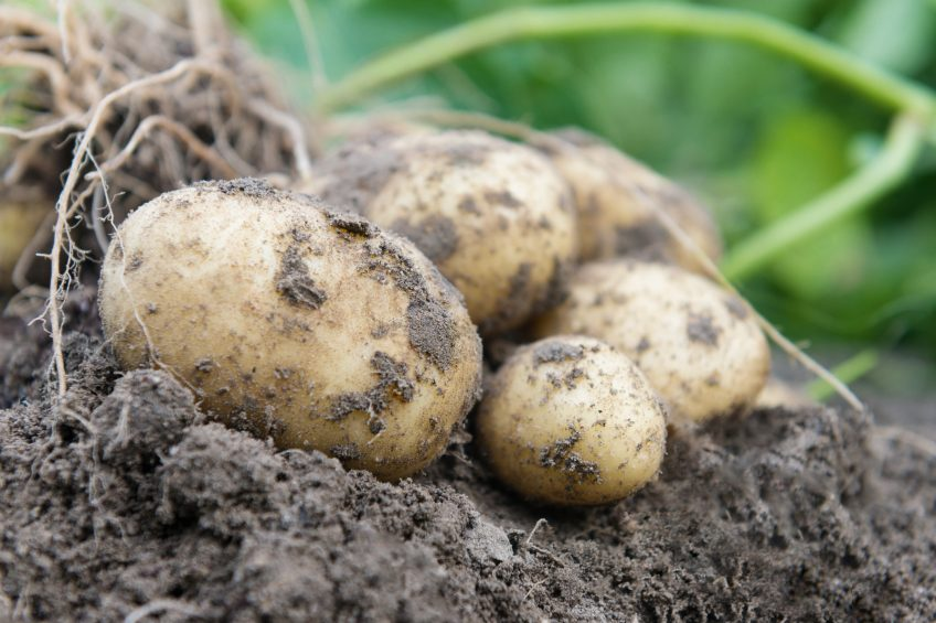 True potato seed to benefit farmers in warmer climates