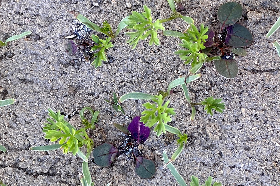 Once again pigweeds zapped by lasers but now in a field with carrot plants. - Photo: Carbon Robotics