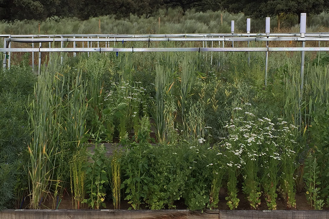 In a mixed culture, several plant species are sown next to each other. The mixing leads to a better function of the entire ecosystem. - Photo: Christian Schöb, Crop Diversity Experiment/ETH Zurich