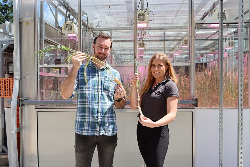Prof Lee Hickey and Dr Hannah Robinson holding barley varieties with different root systems. - Photo: University of Queensland
