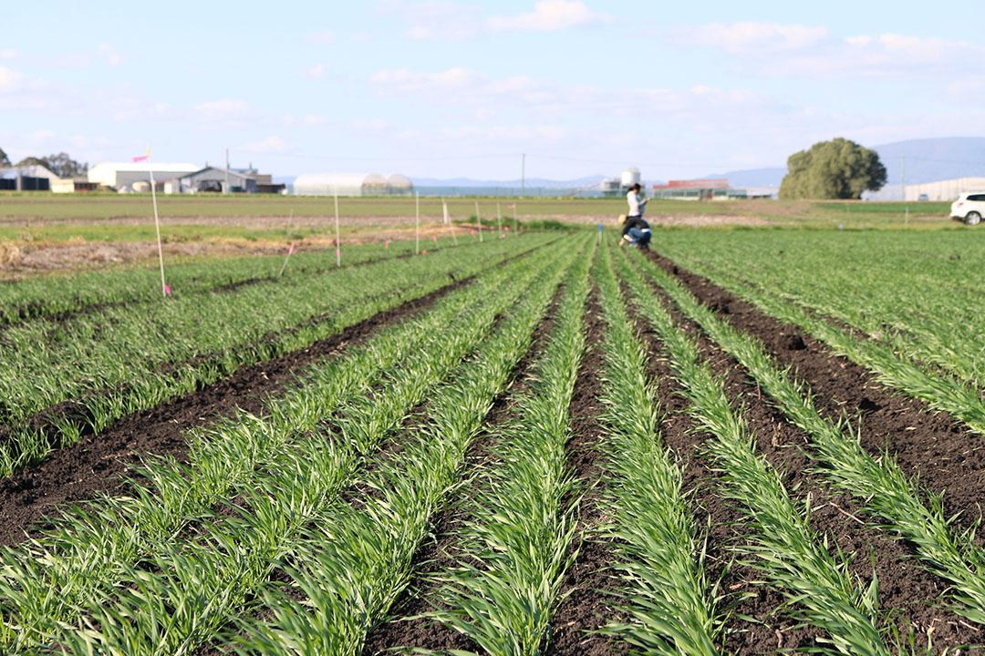 A barley field trial in Warwick, Queensland. - Photo: QAAFI