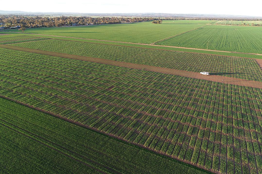 An aerial view of an InterGrain barley breeding field site. - Photo: InterGrain