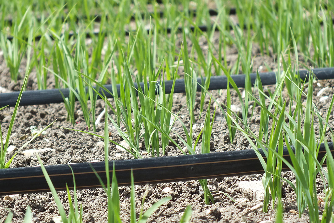 Rice is the most water-dependent crop on the planet. Drip irrigation uses 70% less water.  - Photo: Netafim