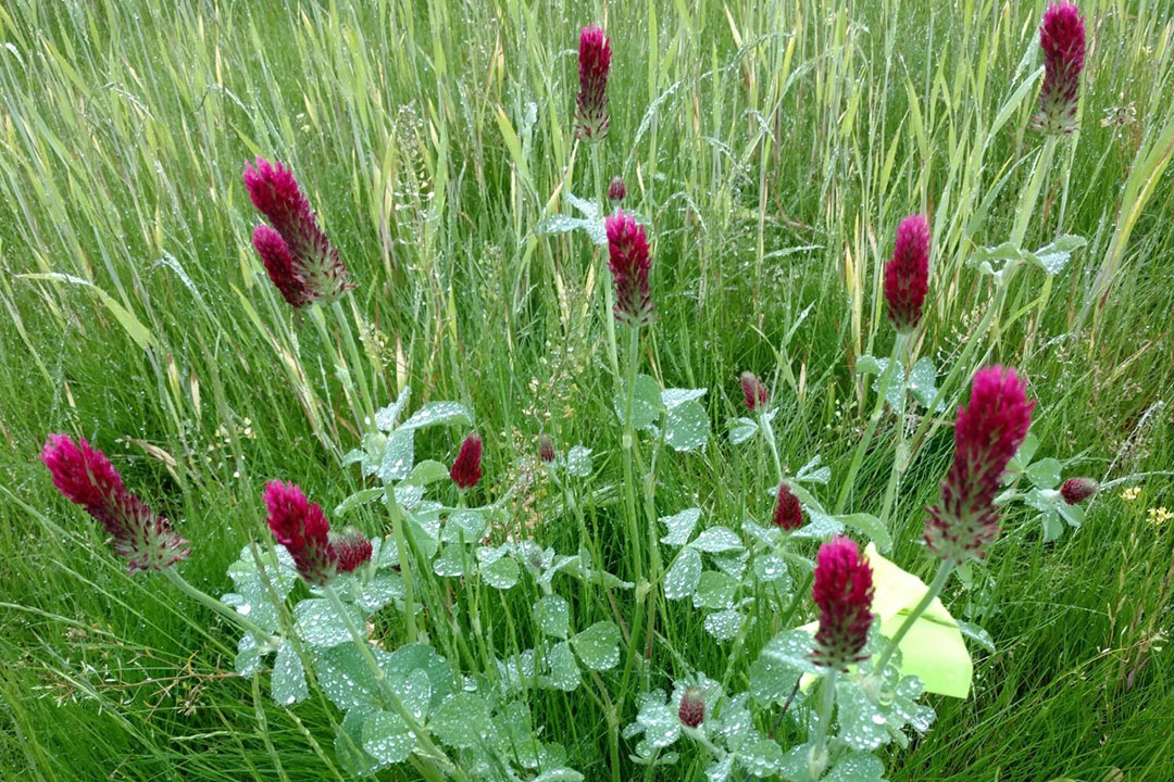 A crimson clover plant, which is generally recommended to grow in a mixture of grasses, which was used in this study. - Photo: Sandra Wayman