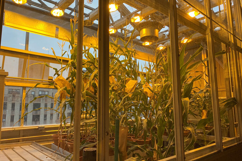 Corn (maize) growing in the NYU Rose Sohn Zegar Greenhouse on the roof of the NYU Center for Genomics & Systems Biology. - Photo: NYU Center for Genomics & Systems Biology