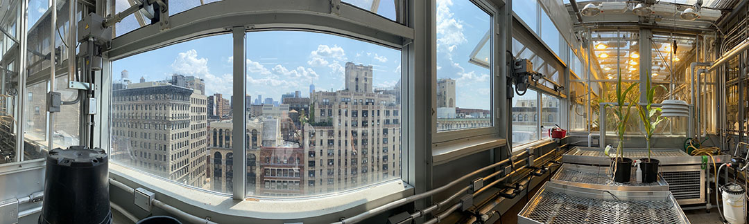Panoramic view of corn (maize) growing in the NYU Rose Sohn Zegar Greenhouse on the roof of the NYU Center for Genomics & Systems Biology. - Photo: NYU Center for Genomics & Systems Biology