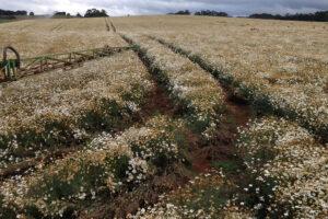 Pyrethrum is one of the crops Redbank Farm grows. - Photo: Redbank Farm